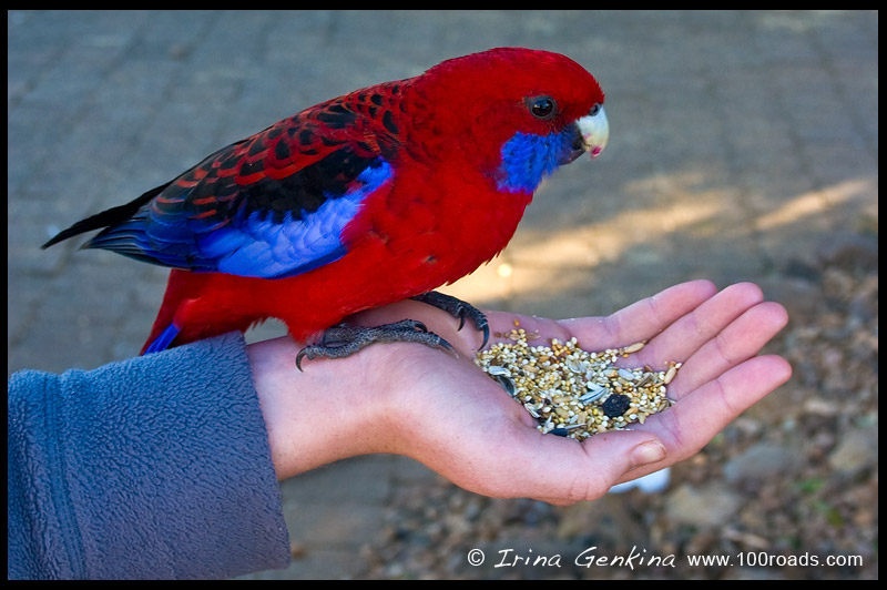 Crimson rosella, Lamington National Park, QLD, Australia