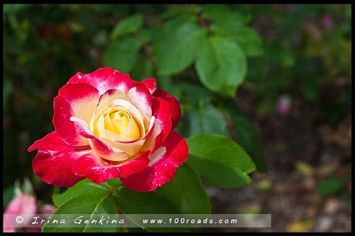 Сад Сената, Senate Gardens, Национальный Розовый сад, National Rose Garden, Старый Дом правительства, Old Parliament House, Канберра, Canberra, Австралийская столичная территория, ACT, Австралия, Australia