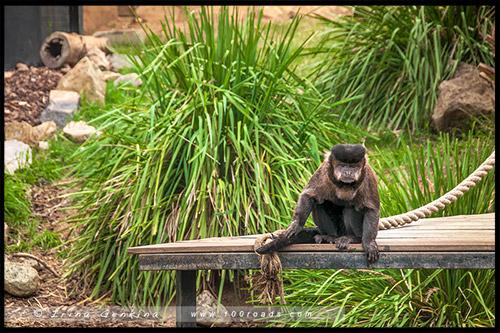 Гепард, Национальные зоопарк, National Zoo, Aquarium, Канберра, Canberra, Австралийская столичная территория, ACT, Австралия, Australia
