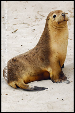 Бухта Тюленей, Seal Bay, Остров Кенгуру, Kangaroo Island, Южная Australia, South Australia, Австралия, Australia