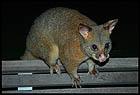 Поссум, Possum, Мельбурн, Melbourne, штат Виктория, Victoria, Австралия, Australia