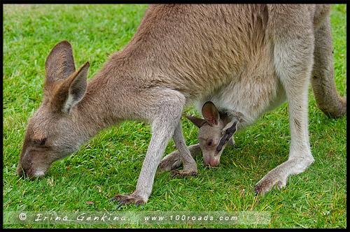 Кенгуру в кемпинге, Бриллиантовый Мыс, Diamond Head, Национальный парк Крауди Бэй, Crowdy Bay National Park, Новый Южный Уэльс, NSW, Австралия, Australia