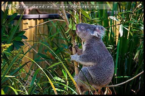 Австралийский Парк Рептилий, Australian Reptile Park, Сомерсби, Somersby, Госфорд, Gosford, Новый Южный Уэльс, NSW, Австралия, Australia