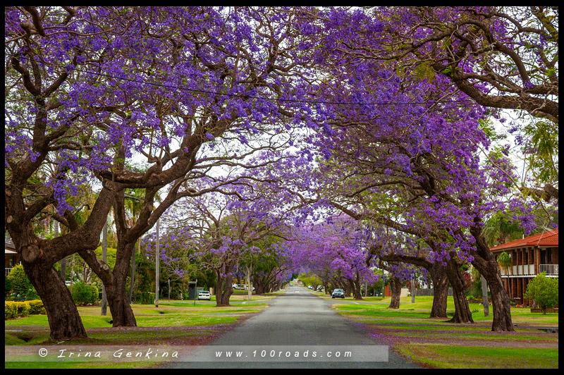 Графтон, Grafton, джакаранда, Jacaranda, Новый Южный Уэльс, New South Wales, Австралия, Australia