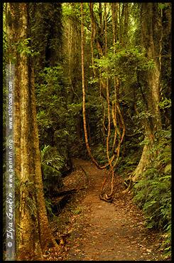 На треке Вонга, Wonga Walk, Национальный Парк Дорриго, Dorrigo National Park, Новая Англия, New England, Новый Южный Уэльс, New South Wales, NSW, Австралия, Australia