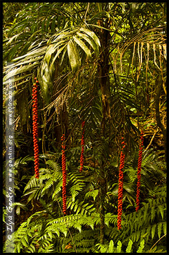 Walkingstick palm, Национальный Парк Дорриго, Dorrigo National Park, Новая Англия, New England, Новый Южный Уэльс, New South Wales, NSW, Австралия, Australia