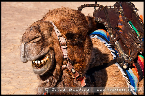 Прогулка на верблюдах, Пляж Стоктон, Stockton Beach, Анна Бей, Anna Bay, Порт Стивенс, Порт Стефенс, Port Stephens, Новый Южный Уэльс, NSW, Австралия, Australia