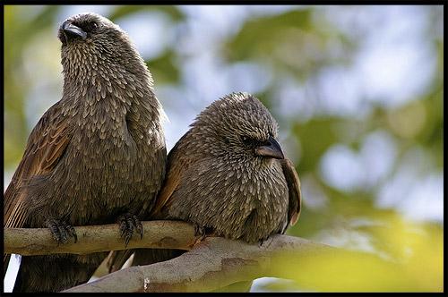 Апостольские птицы, Apostlebird, Национальный Парк Манго, Mungo Natonal Park, Новый Южный Уэльс, New South Wales, NSW, Австралия, Australia