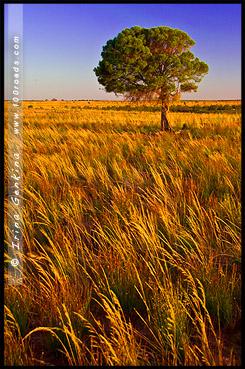 Дерево у откос, Большой изгиб, Big Bend, Мюррей, Murray, Южная Австралия, South Australia, SA, Австралия, Australia