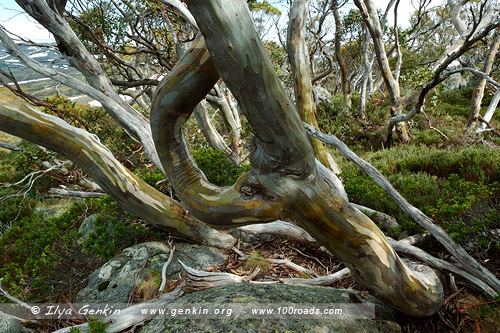 Танцующие эвкалипты, Snow Gums Broardwalk, Снежные горы, Snowy Mountains, Австралия, Australia