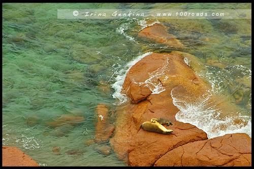 Австралийские морские львы на Point Labatt, Полуостров Эйр, Eyre Peninsula, Южная Australia, South Australia, Австралия, Australia