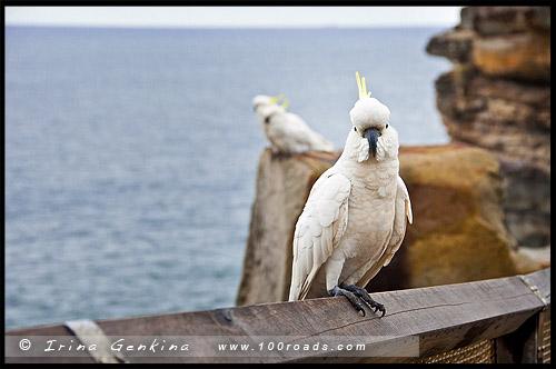Большой желтохохлый какаду, Gap Bluff, The Gap, Мыс Южная Голова, Вотсонс Бэй, Watsons Bay, South Head, Сидней, Sydney, Австралия, Australia