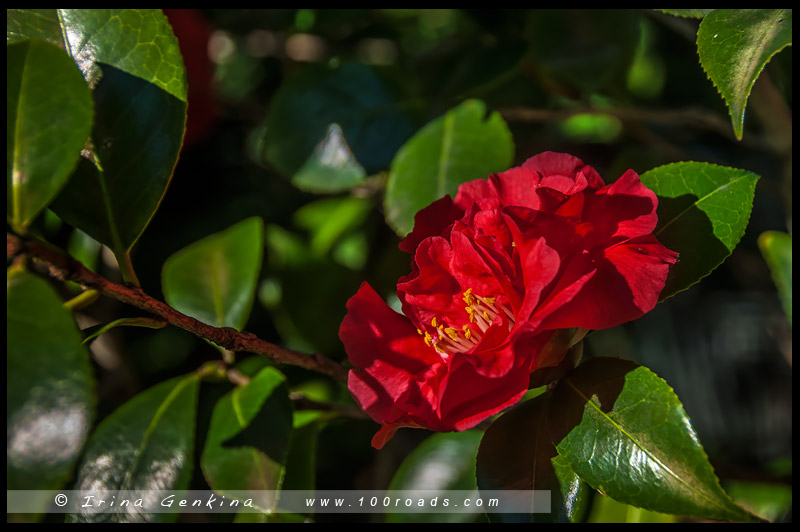 Национальный Сад Камелий имени Эбена Говрэ Уотерхауса, EG Waterhouse National Camellia Garden, регион Сазерленд, Sutherland Shire, Сидней, Sydney, Австралия, Australia