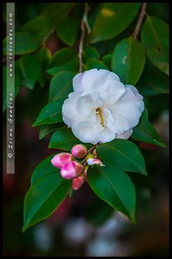 Сады Лисгар, Lisgar Gardens, Хорнсби, Hornsby, Сидней, Sydney, Австралия, Australia