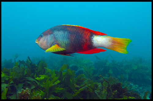 дайвинг, ныряние с трубкой и маской, snorkelling, Сидней, Sydney, Австралия, Australia