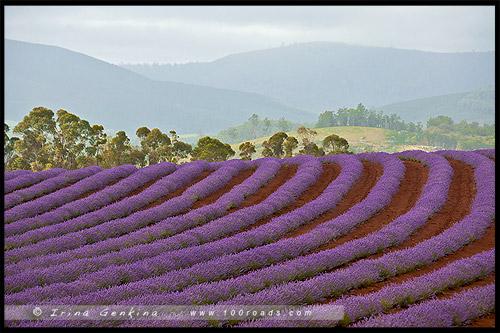Лавандовая ферма Брайдстоу, Bridestowe Lavender Farm, Тасмания, Tasmania, Австралия, Australia