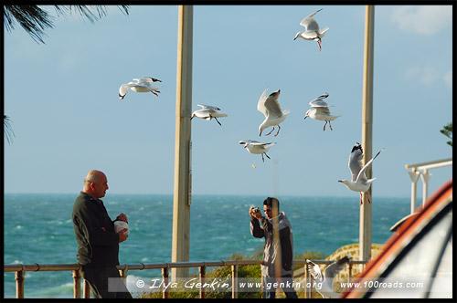 Чайки, Пляж Коттесло, Cottesloe Beach, Перт, Perth, Западная Австралия, Western Australia, WA, Австралия, Australia