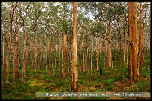 Боранап Карри Лес, Boranup Karri Forest, Западная Австралия, Western Australia, WA, Австралия, Australia