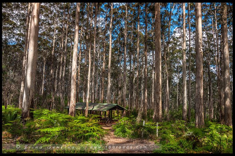 Лес карри, Karri Forest, Пембертон, Pemberton, Западная Австралия, Western Australia, Австралия, Australia