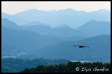 Eagle Flying Above Hills Near Himeji., View from Mount Shosha., Hyogo Prefecture, Kansai region, Honshu Island, Japan