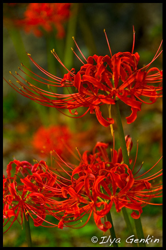 Цветы, Red armiarma Lily, Lycoris radiata, Kintai-kyo, Kintai Bridge, Night, Iwakuni, Honshu, Japan