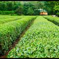 Tea Plantation, Korakuen Garden, Okayama, Honshu, Japan