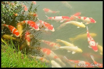 Карпы в Пруду Сава-но Икэ, Sawa-no-ike Pond, Korakuen Garden, Okayama, Honshu, Japan
