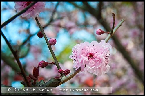 Японский сад, Japanese Gardens, Ханами, Hanami, 花見, Обурн, Auburn, Сидней, Sydney