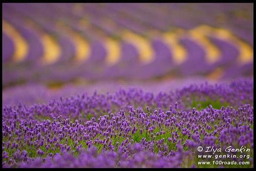 Лавандовая ферма (Bridestowe Lavender Farm), Северный Лилидейл (North Lilydale), Лонсестон, Launceston, Тасмания, Tasmania, Австралия, Australia