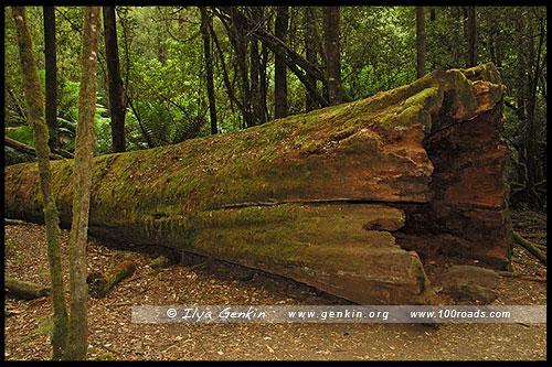 Одно из упавших Высоких деревьев, Tall Trees Walk, Парк Маунт-Филд, Mt Field NP, Тасмания, Tasmania, Австралия, Australia