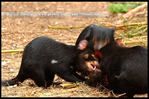 Тасманийский Дьявол, Tasmanian devils, Полуостров Тасман, Tasman Peninsula, Тасмания, Tasmania, Австралия, Australia