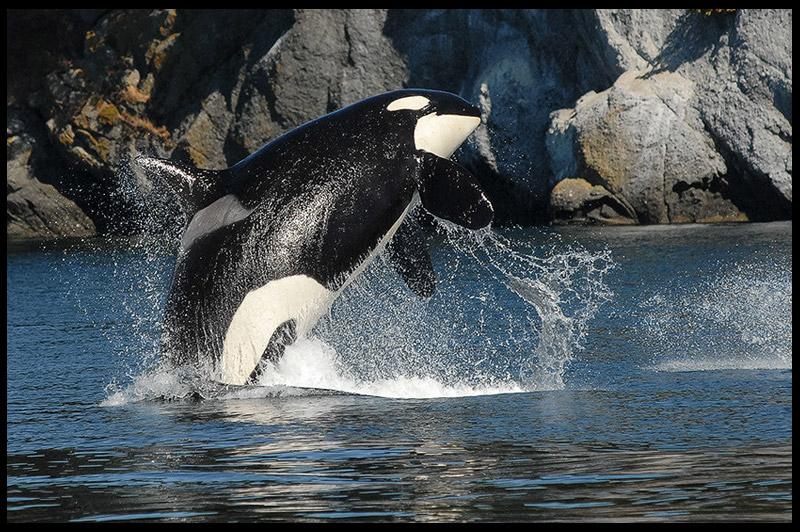 Топ-10 Австралия, Top-10 Australia, Косатка, killer whale, Эден, Eden, Новый Южный Уэльс, New South Wales, Австралия, Australia