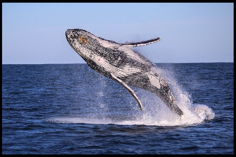 Топ-10 Австралия, Top-10 Australia, Горбатый кит, Humpback whale, Порт Стивенс, Port Stephens, Новый Южный Уэльс, New South Wales, Австралия, Australia