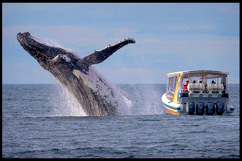 Топ-10 Австралия, Top-10 Australia, Горбатый кит, Humpback whale, Остров Бруни, Bruny Island, Тасмания, Tasmania, Австралия, Australia