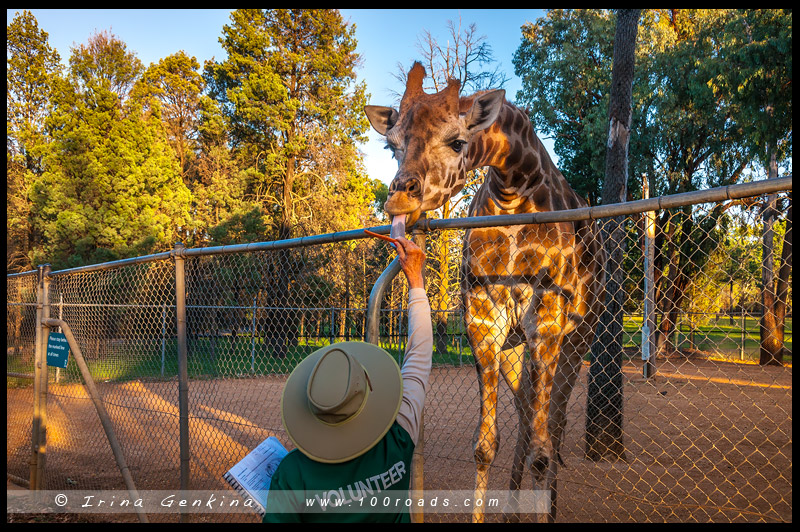 Зоопарк, Западные равнины Таронга, Taronga Western Plains Zoo, Достопримечательности, Sights, Даббо, Dubbo, Новый Южный Уэльс, New South Wales, Австралия, Australia